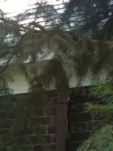 Douglas Fir Pine Needles