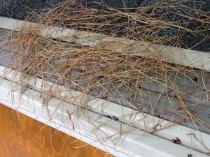 Pine Needles on Gutter Guard